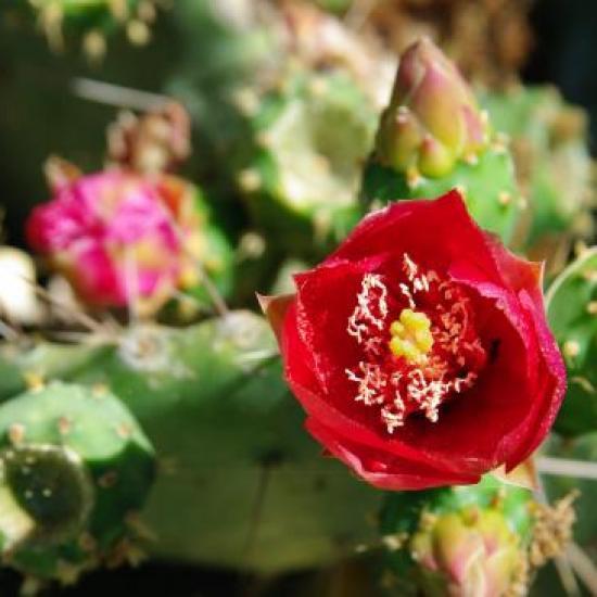 cactus en fleur juin 2009