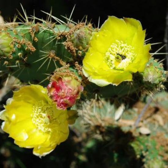 cactus en fleur domaine du Grand Souleyas